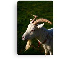 Welsh Goat Canvas Print