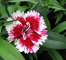Little Darling - Delightful Dianthus by BlueMoonRose