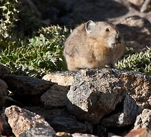 The Dracula Pika by BekkaLynn