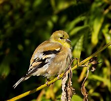 It's All Fluff - American Goldfinch by John Absher