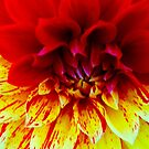 Two Toned Dahlia by Barbara  Brown