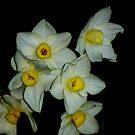 Daffodil by loiteke