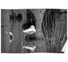 Black and White-Duck Standing in the Water  Poster