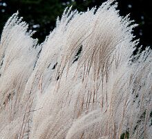 Silver Grass in the Wind by aclepsa