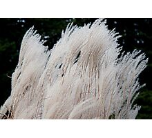 Silver Grass in the Wind Photographic Print