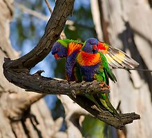 Rainbow  Lorikeets by Bill  Robinson
