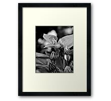 Hibiscus flower buds   Framed Print