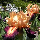 Peach and Purple Bearded Iris by Paula Betz