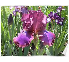 Pretty Iris Poster