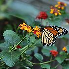 MONARCH BUTTERFLY 2 by webdog