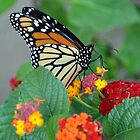 MONARCH BUTTERFLY 4 by webdog