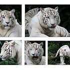 White Tiger Beauty by Leanne Allen