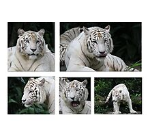 White Tiger Beauty Photographic Print