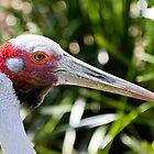 Bruce the Brolga (Grus rubicunda) by Jason Asher