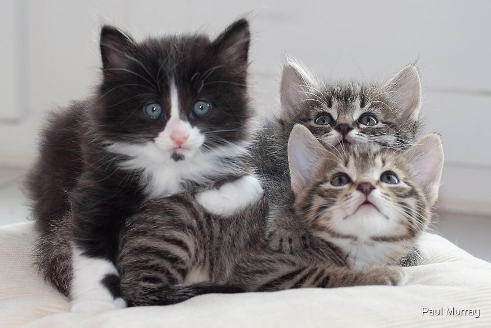 3 Kittens by Paul Murray