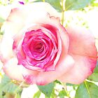 Narrabri's best roses by Rebekah Kilpatrick