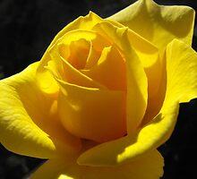 Sunny day rose by Rebekah Kilpatrick