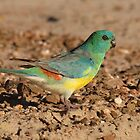 RED RUMPED PARROT (Male) by kirribas30