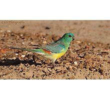 RED RUMPED PARROT (Male) Photographic Print