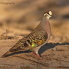 COMMON BRONZEWING (Male) by kirribas30