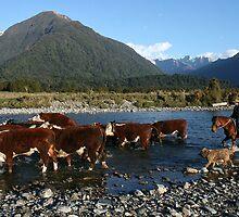 herefords on the mahitahi river,  south westland, nz by rina  thompson