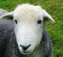 Herdwick Portrait by artwhiz47