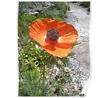 Pretty Orange Poppy in a Rock Garden Poster