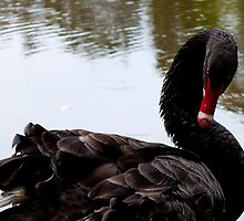 Black Swan (Cygnus atratus) by Jacqueline Anderson