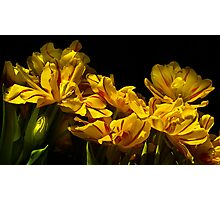 A cascade of tulips Photographic Print