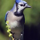 Skeptical Blue Jay by Gene Walls