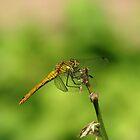 Dragonfly by Elena Skvortsova