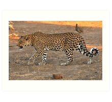 Stalking leopard - Mashatu, Botswana Art Print