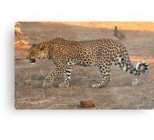 Stalking leopard - Mashatu, Botswana Metal Print