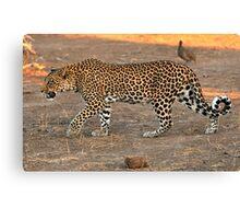Stalking leopard - Mashatu, Botswana Canvas Print