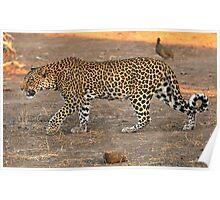 Stalking leopard - Mashatu, Botswana Poster