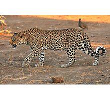 Stalking leopard - Mashatu, Botswana Photographic Print