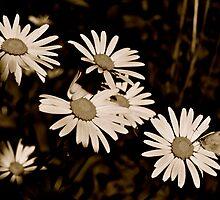Daisies  by Jessica Karran