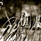 Cattails in Black and White - AB Canada by Jessica Karran