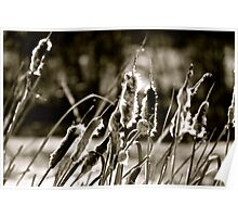 Cattails in Black and White - AB Canada Poster