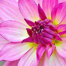 Pink dahlia by Mundy Hackett