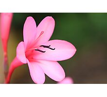"""""""Pretty in Pink"""" Photographic Print"""
