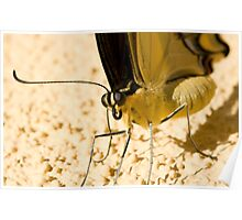 Yellow & Black Butterfly Poster