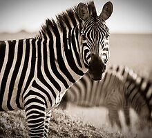 Zebras Grazing by Jill Fisher