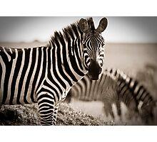 Zebras Grazing Photographic Print
