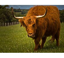 Total Bull. Photographic Print