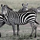 Zebra Stripes by Jill Fisher