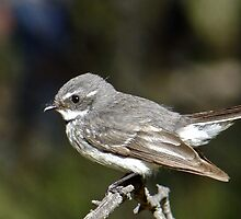 Grey Fantail by Rick Playle