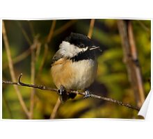 Cross Billed Black Capped Chicadee Poster