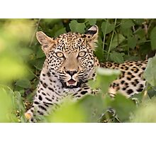 Leopard in hiding Photographic Print