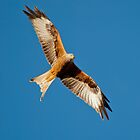 Red Kite by M.S. Photography/Art